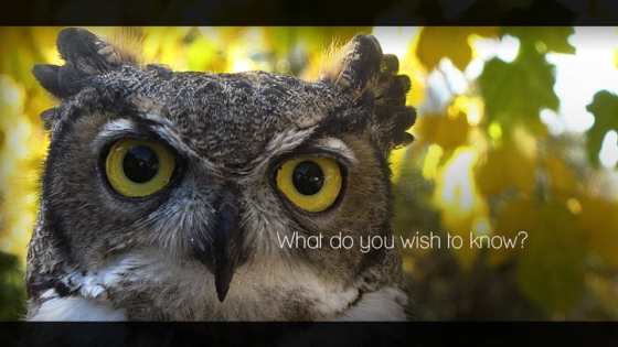 owl close up stare what do you wish to know